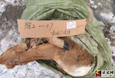 铺设电网捕杀东北虎 盗猎团伙猎杀30余只野生动物被捕
